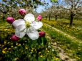 Blossoming apple orchard in spring — Stock Photo