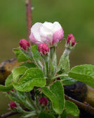 Apple blossoms after the rain — Stock Photo