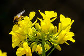 Rapeseed blossoms and bee in sunshine — Stock Photo