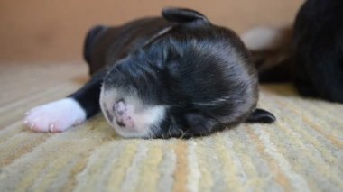 American Staffordshire Terrier Puppy sleeping — Stock Video
