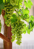 Unripe  grapes  with the sunlight beautifully shining through the vine leaves — Stock Photo