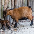 The goat with its baby. Newborn kid. Brown baby goat — Stock Photo #53246637