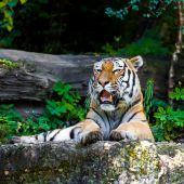 Tigre. retrato de belo tigre — Fotografia Stock