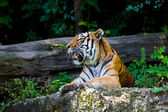 Tiger.  Beautiful Tiger Portrait   — Stock fotografie