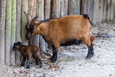 The goat with its baby.  Newborn kid. Brown baby goat — Stock Photo