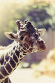 Giraffe. Portrait of a curious giraffe (Giraffa camelopardalis) — Stock Photo
