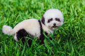 Dog repainted on panda. groomed dog. pet grooming.  — Stock fotografie