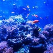 Tropical fishes meet in blue coral reef sea water aquarium . Und — Stock Photo