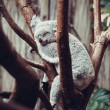 Australian Koala Bear sleep on a tree trunk. Koala relaxing on A — Stock Photo #53790775