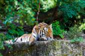 Tiger.  Beautiful Tiger Portrait   — Stock Photo