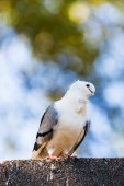 Pigeon. dove  — Stock Photo