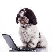 Shih tzu dog  with laptop.  — Stock Photo