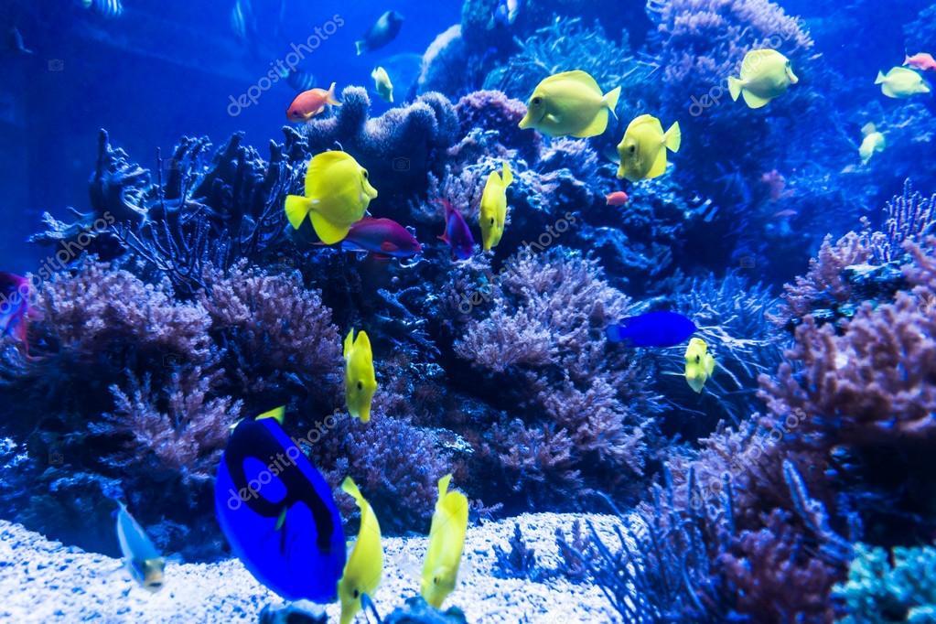 Peces tropicales se re nen en acuario de agua de mar azul - Peces tropicales fotos ...