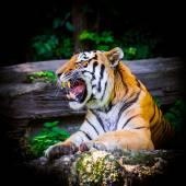 Tiger. Beautiful Tiger Portrait  — Stock Photo