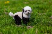 Dog repainted on panda. groomed dog. pet grooming. — Stock Photo