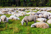 sheep on the  meadow.  Sheep graze in the meadow. Herd of sheep — Stock Photo
