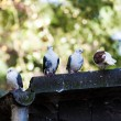 Group of pigeons — Stock Photo #54802573