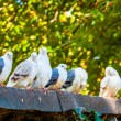 Group of pigeons — Stock Photo #54802577