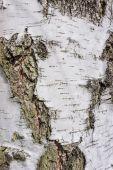 Birch bark — Foto de Stock