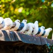 Group of pigeons — Stock Photo #55710343