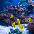 Tropical fish in blue coral reef — Stock Photo #55710467