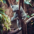 Koala Bear sleep on a tree — Stock Photo #55710861