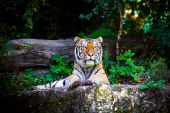 Beautiful Tiger lying — Stockfoto