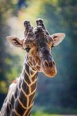 Retrato de jirafa — Foto de Stock