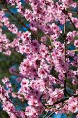 Pink sakura  blossom — Stock Photo