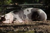 Big pig on  farm — Stock Photo
