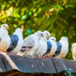 Group of pigeons — Stock Photo #56075345
