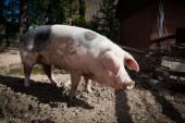 Big pig on a farm  — Stock Photo