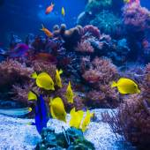 Tropical fish in blue coral reef sea — Stock Photo