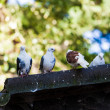 Group of pigeons — Stock Photo #57698427