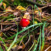 Poisonous toadstool mushroom — Stockfoto