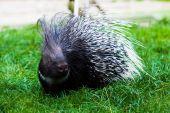 Porcupine on grass — Stock Photo