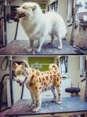 Groomed dog samoyed dog — Stock Photo