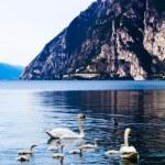 Swan family in lake — Stock Photo #58326153