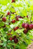 Gooseberries in the garden — Stock Photo