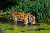 Tiger in water. — Stock Photo