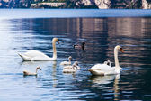 Young swans in lake — Stock Photo