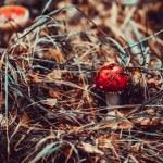 Amanita poisonous mushroom. — Stock Photo #58726707