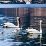 Swan family in lake — Stock Photo #58728777