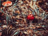 Amanita poisonous mushroom. — Stock Photo