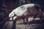 Pig on  farm — Stockfoto