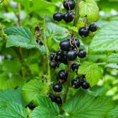 Black currant on branches — Stock Photo
