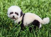 Dog groomed in panda style — Stock Photo