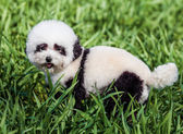 Dog groomed in panda style — Стоковое фото