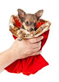 Chihuahua dog in Christmas sack — Stock Photo