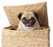 Pug dog in box — Stock Photo